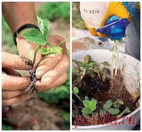 Как сажать клубнику в августе, чтобы обеспечить хороший урожай в следующем году — Полезные советы