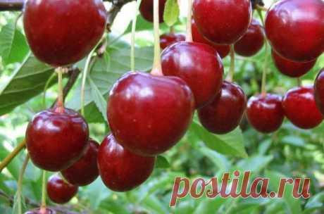 Лучший сорт вишни для Подмосковья