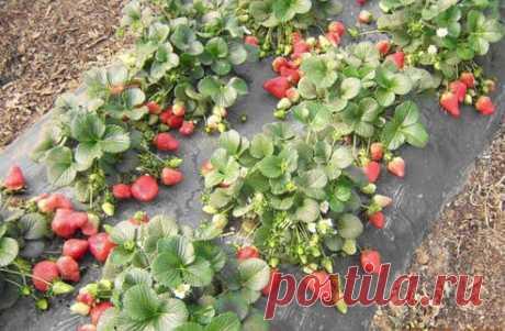 Подкормка клубники для впечатляющего урожая — 6 соток