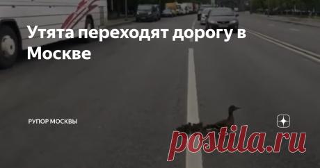Утята переходят дорогу в Москве