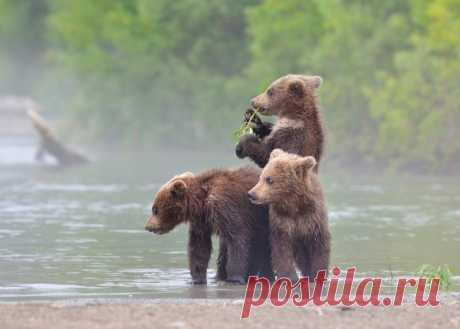 Забавные медвежата Николая Зиновьева