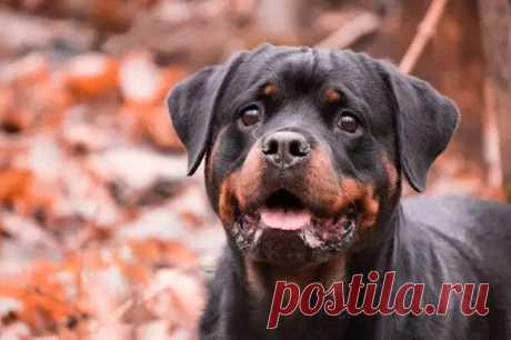 (18) Телохранитель: 9 пород собак — лучших сторожей и охранников - Ушки-хвостики - медиаплатформа МирТесен