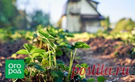 Que sobrealimentar la fresa después de la recogida de la cosecha   En el jardín (Огород.ru)