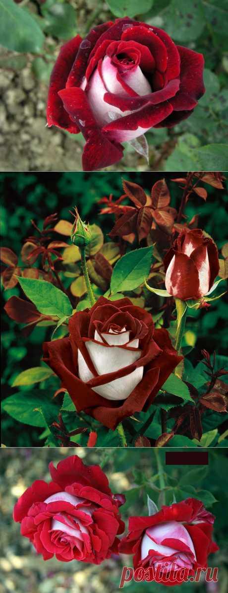 Роза сорта Osiria