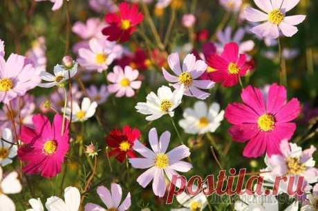 9 удивительно красивых однолетников, цветущих все лето