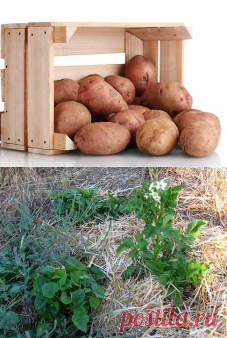 450 килограммов картошки – из одной сотки! - Не слабо! .