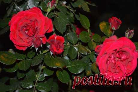 Размножение роз зелеными черенками в июле | Наталья Кудрявцева | Яндекс Дзен