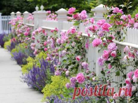 Милый садик, очаровательные розы