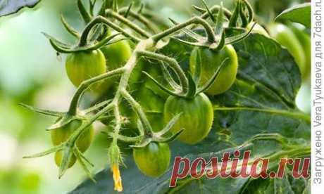 Выращивание помидоров на остатках томатной ботвы. Плюсы и минусы