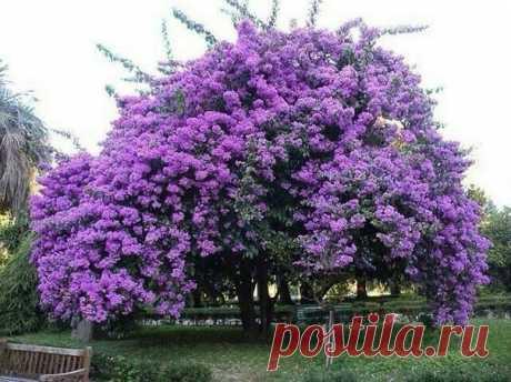 ЖАКАРАНДА - дерево, дарящее красоту и приносящее удачу! Ставьте класс на удачу!