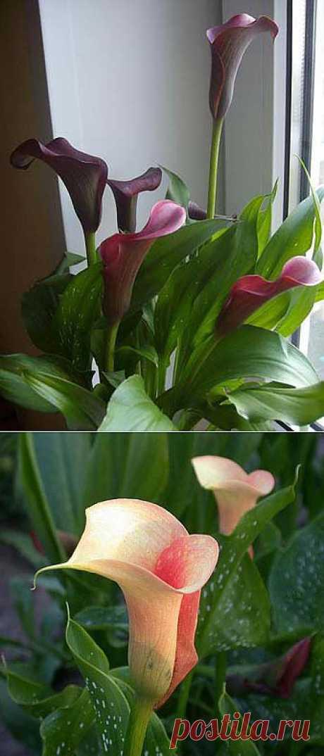 Каллы: выращивание в горшке.