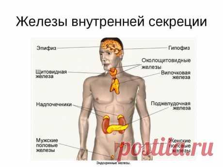 Какие органы образуют нашу эндокринную систему Наша молодость, продление жизни, трудоспособность зависят от работы желез внутренней секреции. А это значит, что мы должны знать, каковы потребности этих желез.