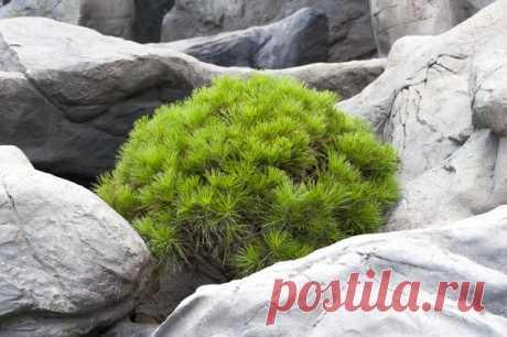 Хвойные растения в дизайне дачных участков. 13 самых неприхотливых среди декоративных форм: можжевельники, сосны, ели