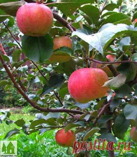 Карликовая яблоня | Дачная жизнь - сад, огород, дача.  Как вырастить карликовую яблоню с помощью интеркалярной вставки...