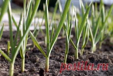 Чем подкормить чеснок весной, посаженный под зиму, если желтеет
