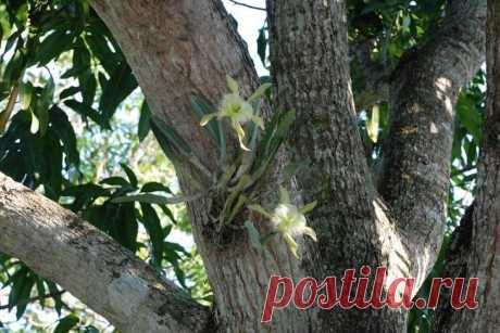 Орхидея: секреты правильного полива в домашних условия Особенности механизма полива для орхидеи В отличие от других видов растений у эпифитов могут существовать проблемы с водным балансом. Вода, поступающая к корням орхидеи, будет впитана ими и направлена...