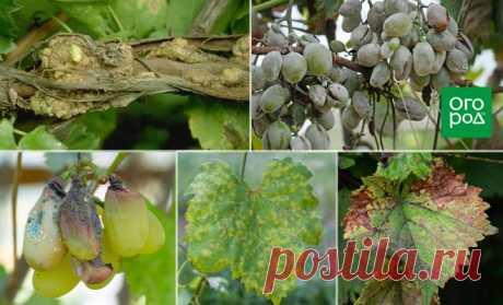 Топ-5 самых опасных болезней винограда | Виноград (Огород.ru)