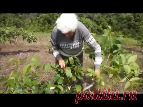 Перепрививка маточно-черенкового сада ореха грецкого