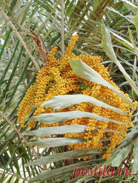Цветущая пальма.