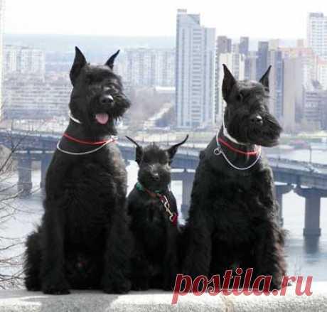 La raza de los perros rizenshnautser la foto: 21 tys de las imágenes es encontrado en el Yandex. Las estampas
