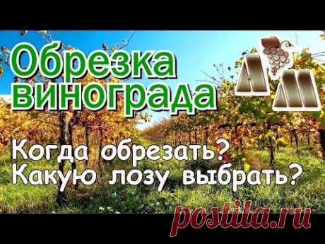 🍇 Когда обрезать виноград? Какую лозу выбрать при обрезке?