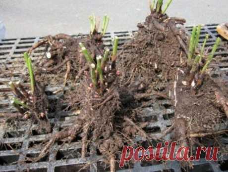 5 секретов пышного цветения пиона от специалиста | Пионы (Огород.ru)