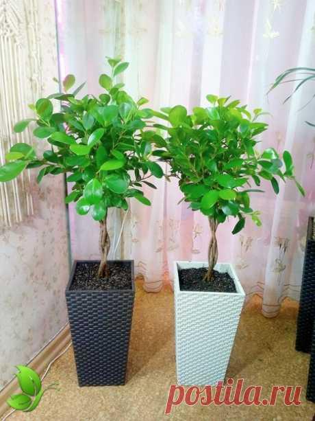 Высокое напольные комнатное растение Все подробности в описании к фото