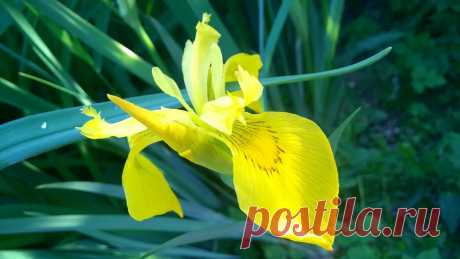Another Iris flower - Clickasnap - The world's largest, free to use, paid per view, image sharing platform
