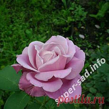 Розы   Супер сад