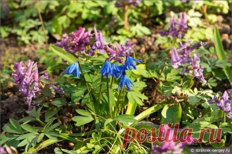Весна: цветы подснежники в лесу - фото