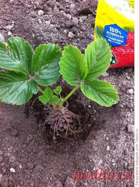 Как правильно посадить клубнику: необычный способ посадки на шишку. Подкормки при посадке. Фото