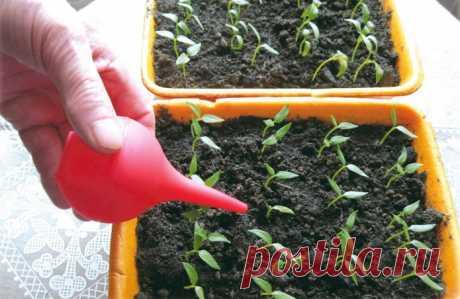 Пересадка рассады помидоров: когда, зачем и сколько раз можно пересаживать томаты после посева и до посадки на грядку