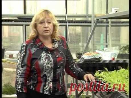Выращивание в теплице салата: как вырастить зимой? Требования к технологии выращивания рукколы и айсберга в теплице