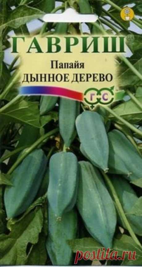 """Семена. Папайя """"Дынное дерево"""" (3 штуки) Всхожесть: 59%. Папайя – тропическое растение из семейства Папайевых, его высота зависит от емкости контейнера и колеблется от 1 м до 2,5 м. Крупные, растущие по спирали листья живут 4–6 месяцев, затем опадают, и папайя становится похожей на пальму, с «зонтиком» листьев на верхушке..."""