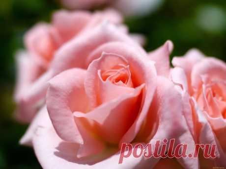 Розовые розы в саду цветут....Усталый вечер тихо гаснет, Печально смотрит вниз луна. Не верь наветам понапрасну, А верь в любовь: она — одна. Смотри: тихонько напевает Простой мотив ночная тень. Лишь лёгкий ветер точно знает, Что завтра снова будет день. Спокойной ночи, моё счастье, Пусть снятся небо и прибой. Пусть обойдут тебя ненастья. Спокойной ночи... Я — с тобой...
