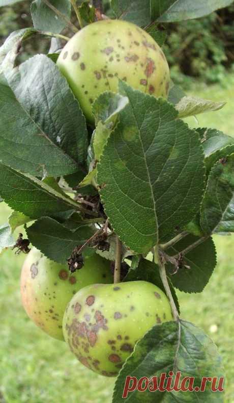Грибковые и вирусные болезни яблонь - Стильные новости