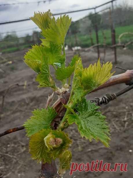 Первая зеленая операция-обломка.Холостые побеги на винограде.   Лоза виноградная   Яндекс Дзен