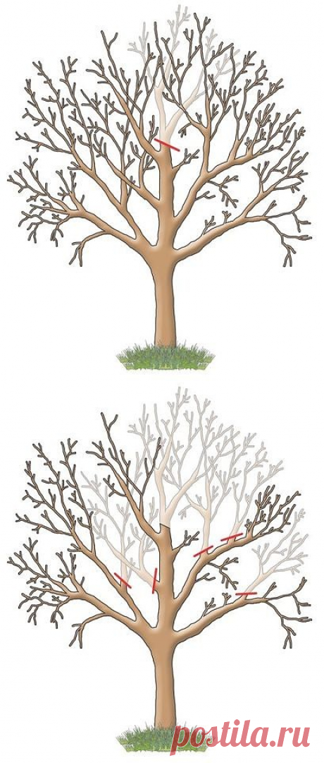 How to increase fructification of an apple-tree, a pear.