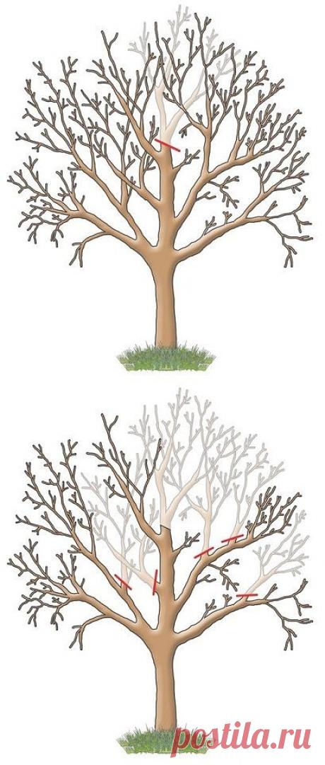 Как увеличить  плодоношение яблони , груши.