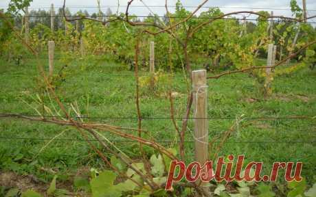 Секреты правильной осенней обрезки винограда    Осенью необходимо правильно обрезать виноград. Это позволит в будущем сезоне получить небывалый урожай. Узнайте, как провести обрезку этой садовой культуры.  Нужно ответственно подойти к этому вопр…