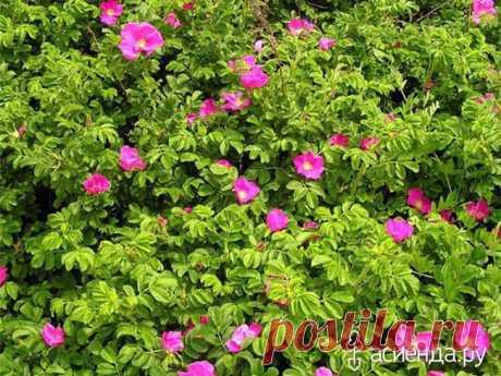 Шиповники? Нет, парковые розы! Евгений Писарев. часть 2.: Группа Цветы и флористика