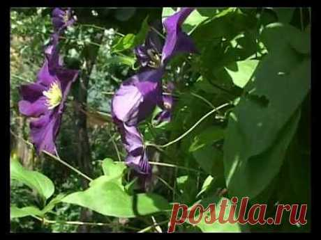 Сад и огород. Клематисы (2) - YouTube