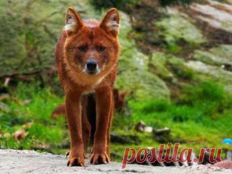 Почему хищник занесен в Красную книгу, где он обитает и чем питается? Сколько осталось особей в мире? Какие основные отличия от других волчьих видов?