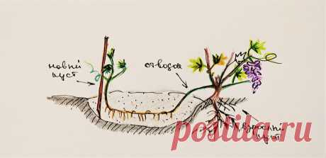 Ещё один способ легко и просто размножить виноград. Черенковать не нужно 😉 | Кинельский виноград | Яндекс Дзен