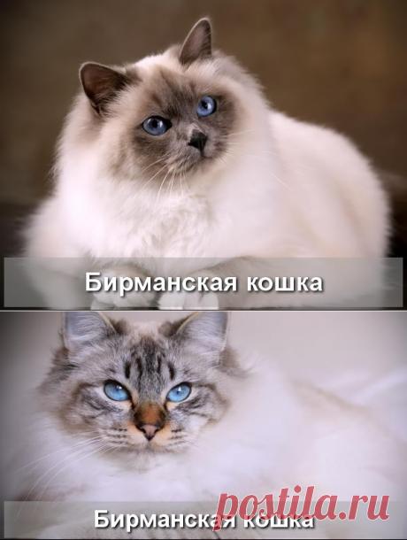Бирманская полудлинношерстная кошка - Про Питомца