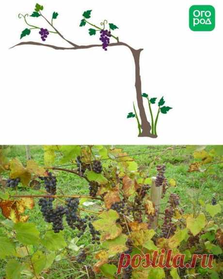 5 типичных ошибок новичков при обрезке винограда Чтобы виноград на вашем участке хорошо плодоносил, за ним нужно тщательно ухаживать. Одним из самых важных моментов является правильная обрезка винограда.