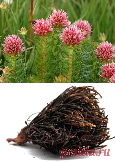 Для чего употреблять растение красная щетка? | Диеты со всего света