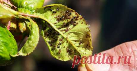 Тля — гроза садов и огородов. Как защитить молодые побеги и листья растений от вредителя. Народные методы.