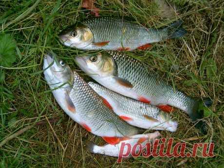 Какая рыба хорошо ловится на ракушку в реках | Рекомендательная система Пульс Mail.ru