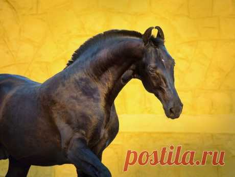 Marwar – noble and graceful horses. This royal breed removed by many generations the maharaja for centuries remains to the most mysterious in the world.